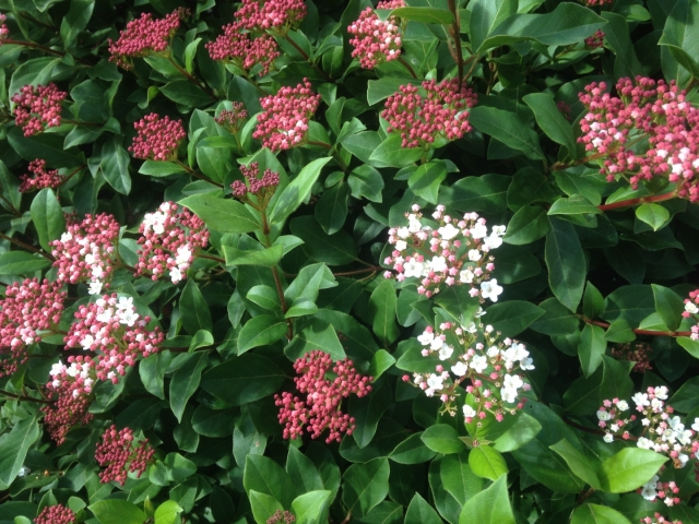Viburnum tinus 'Gwenllian'  ( Sneeuwbal )